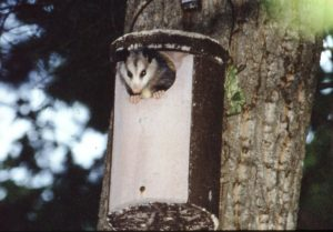 A Virginia Opossum peeks out of one of the author's wildlife boxes at the edge of her yard.