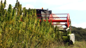 All industrial hemp must be tested to assure low levels of THC.