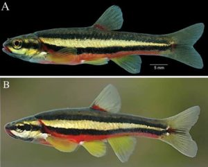 Two examples of the Clinch Dace